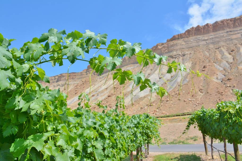 Vineyards against mountains in Palisade