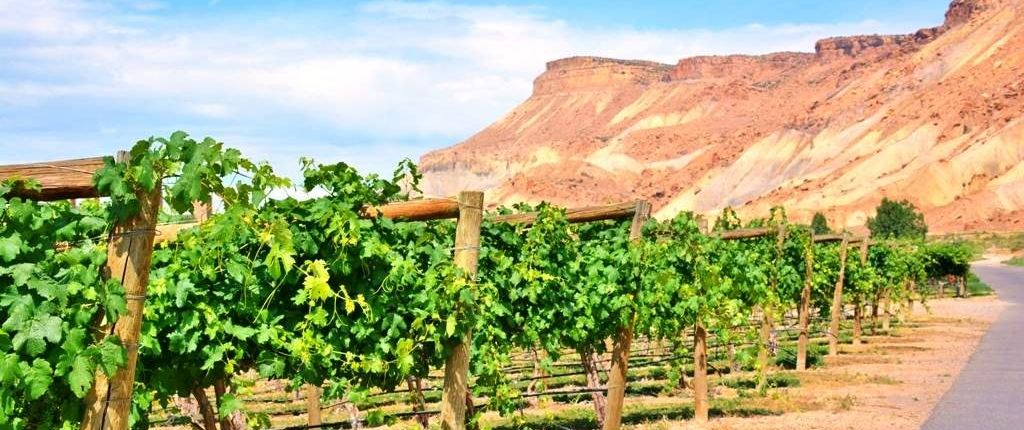 Vineyard next to Mount Garfield in Palisade